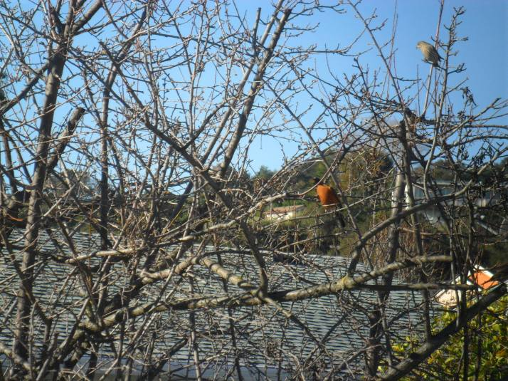 A Robin resting in my tree