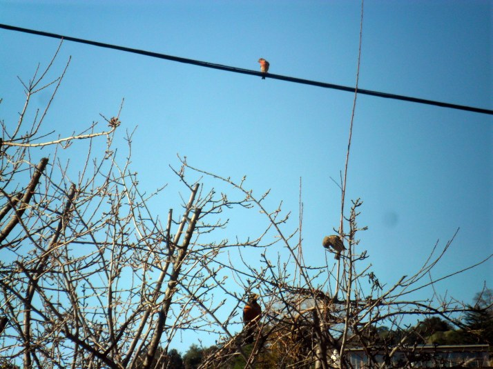 A Robin, a Lesser Goldfinch, and a House Finch