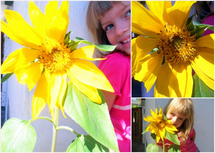 Our common sunflower