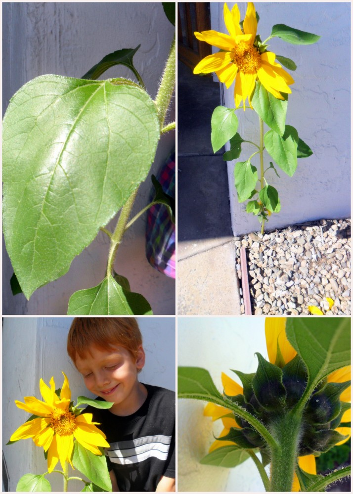 It was the picture of the back of the flower that convinced us that this truly was a sunflower.