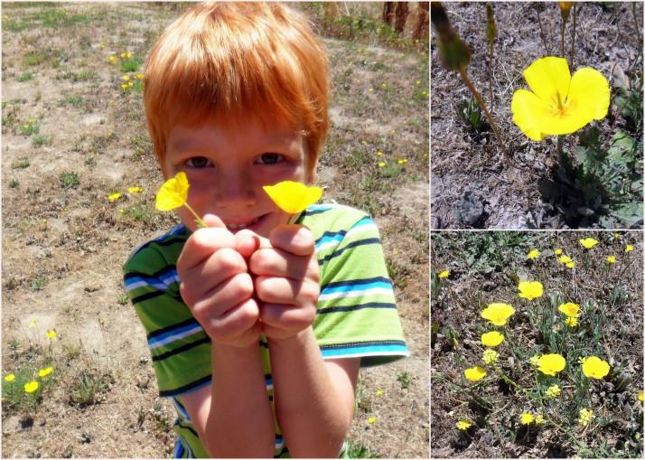 Bright yellow poppies