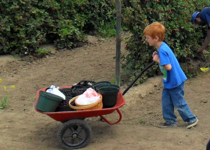 A wheelbarrow full of berries