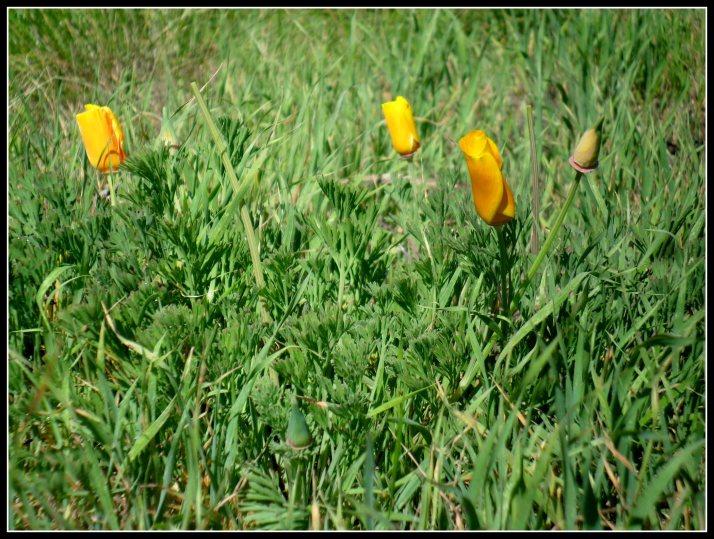 The California Poppy