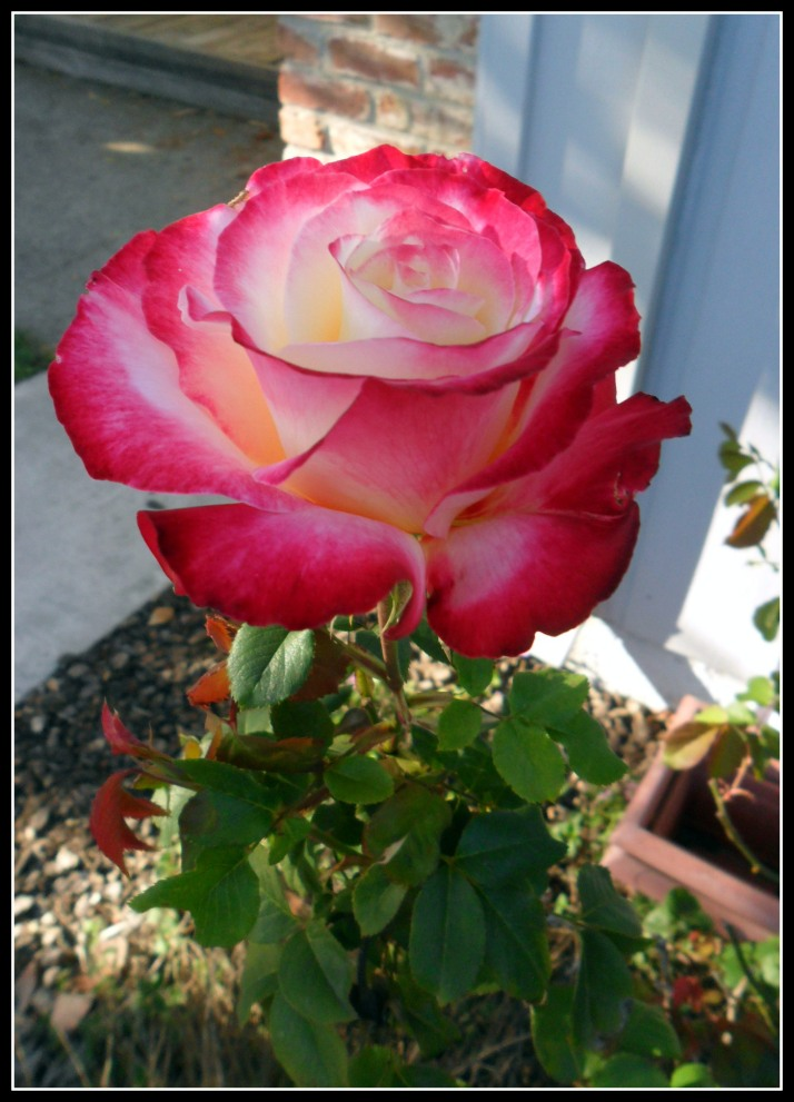 The first sign of spring in our backyard- a very lovely rose.