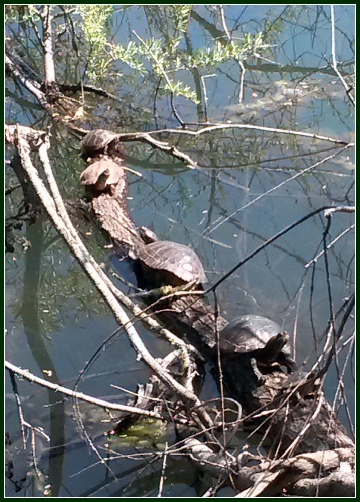 Western Pond Turtles